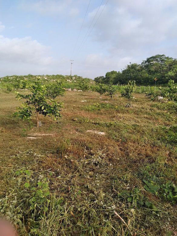 4 de 20: Otra vista de la plantación.