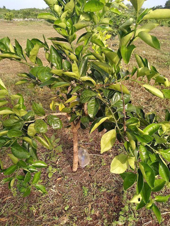 6 de 20: Se aprecia el micro aspersor en el tronco de la planta