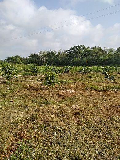 7 de 20: Otra vista de la plantación