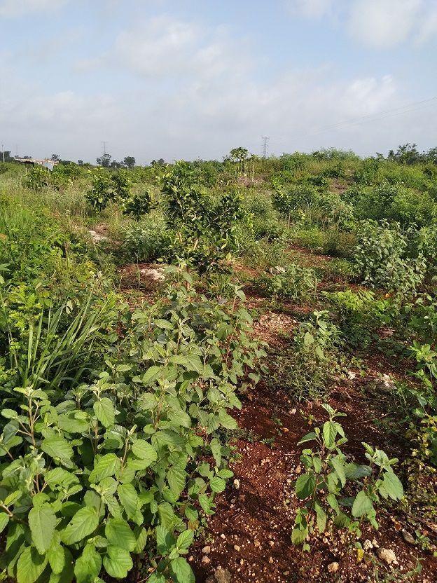 11 de 20: las plantas presentan buen desarrollo vegetativo
