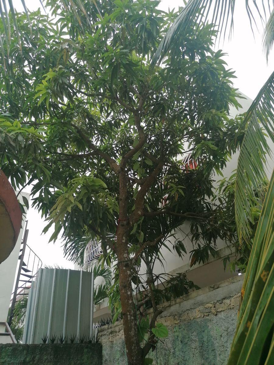 5 de 40: Mata de mango