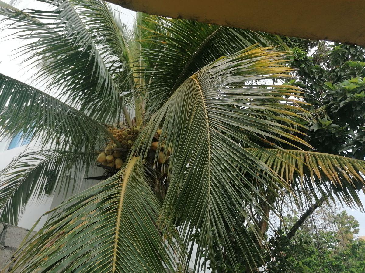 6 de 40: mata de coco en  producción