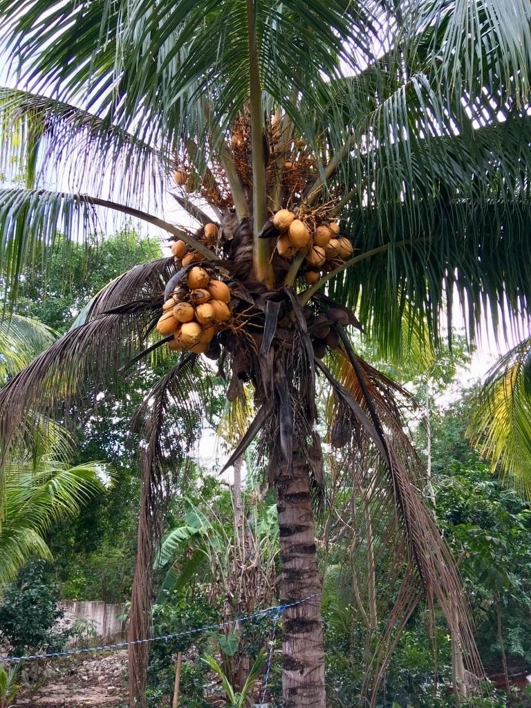 23 de 29: Arbol de coco